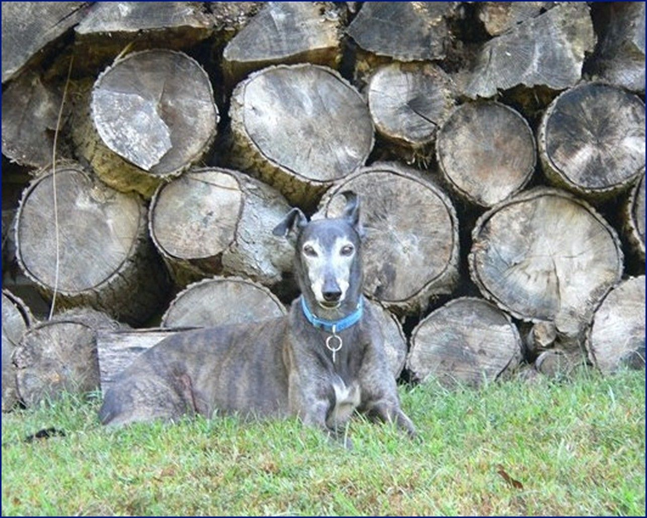 Greyhound-Adoption-Fuzzy1.jpg