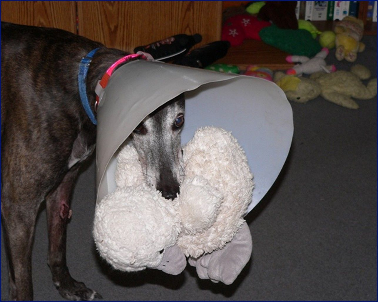 Greyhound-Adoption-Fuzzy2.jpg