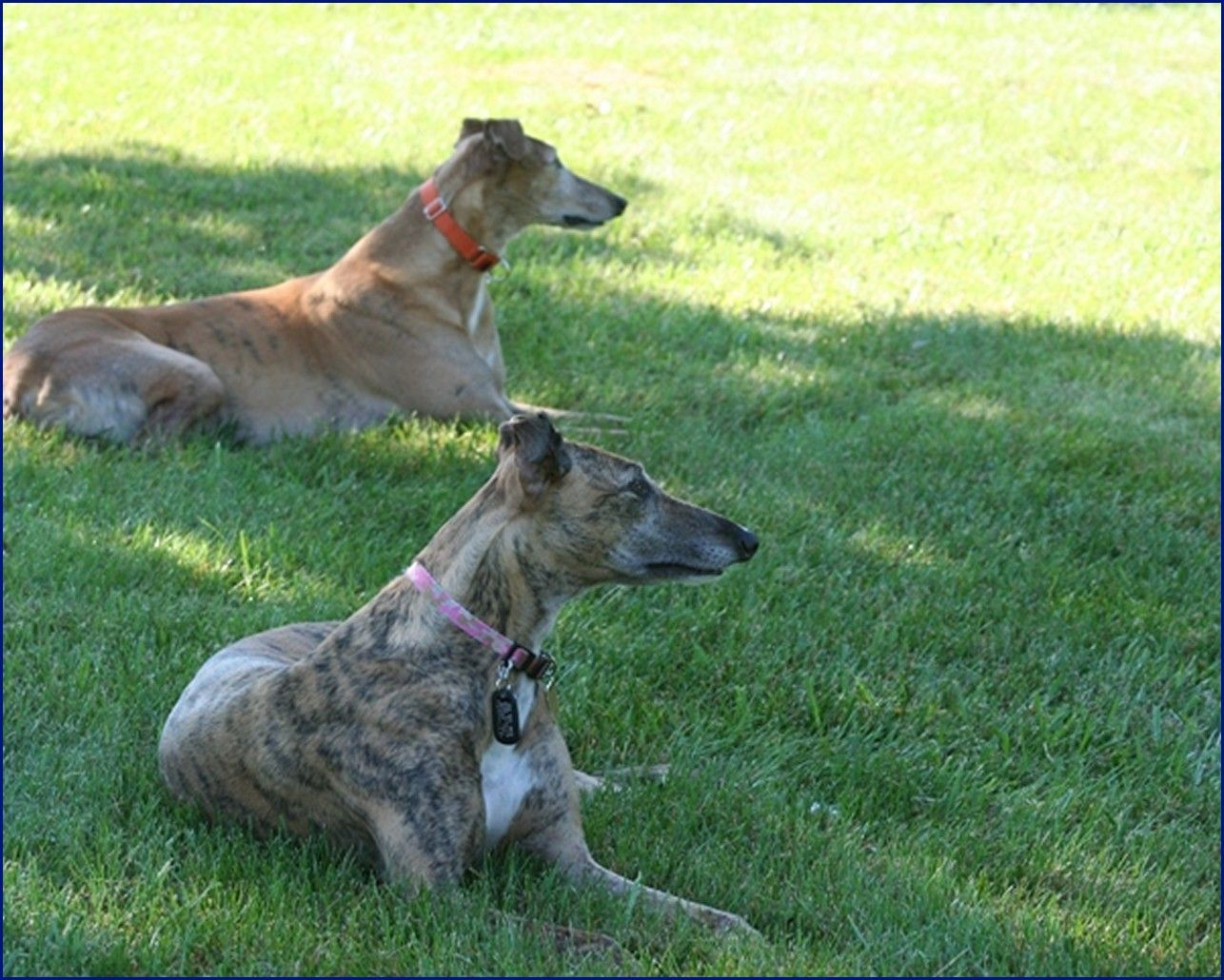 Greyhound-Adoption-JS2.jpg