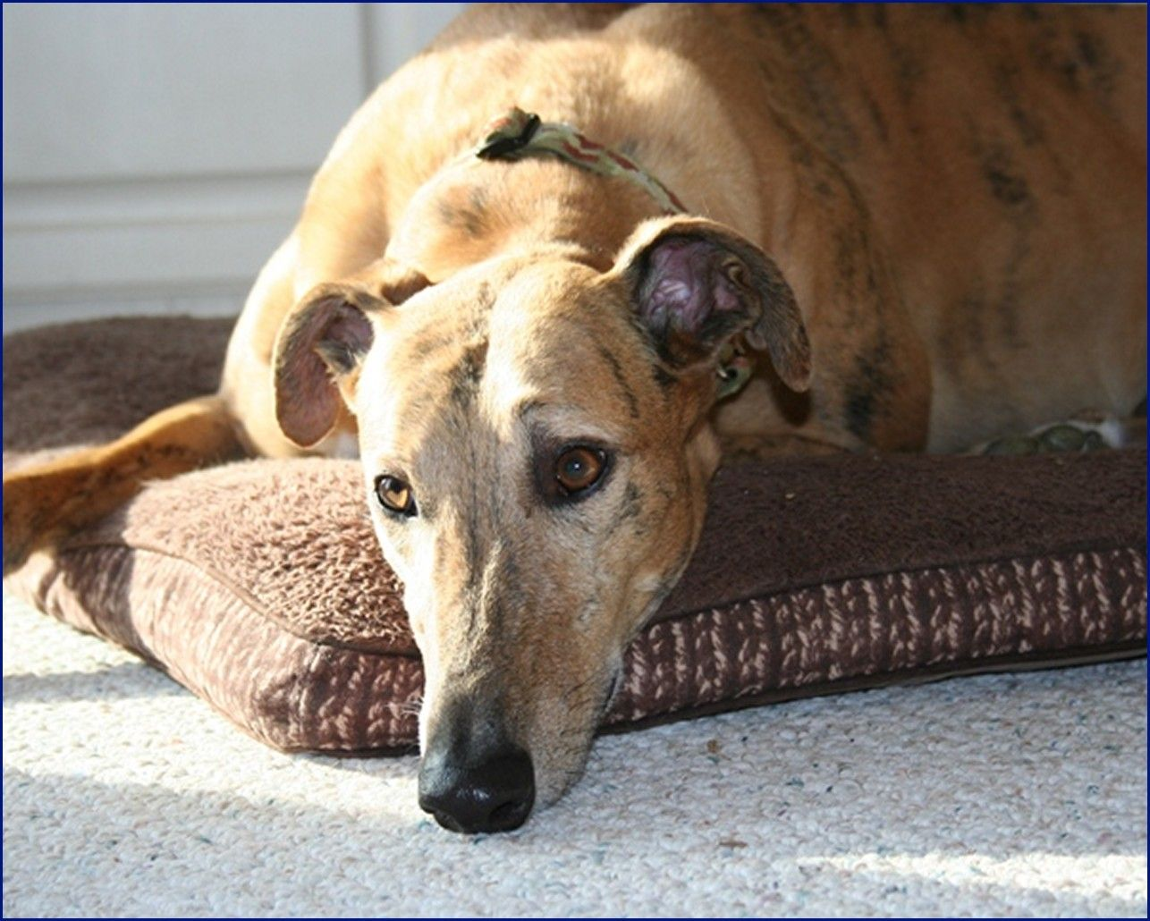 Greyhound-Adoption-Jack2.jpg