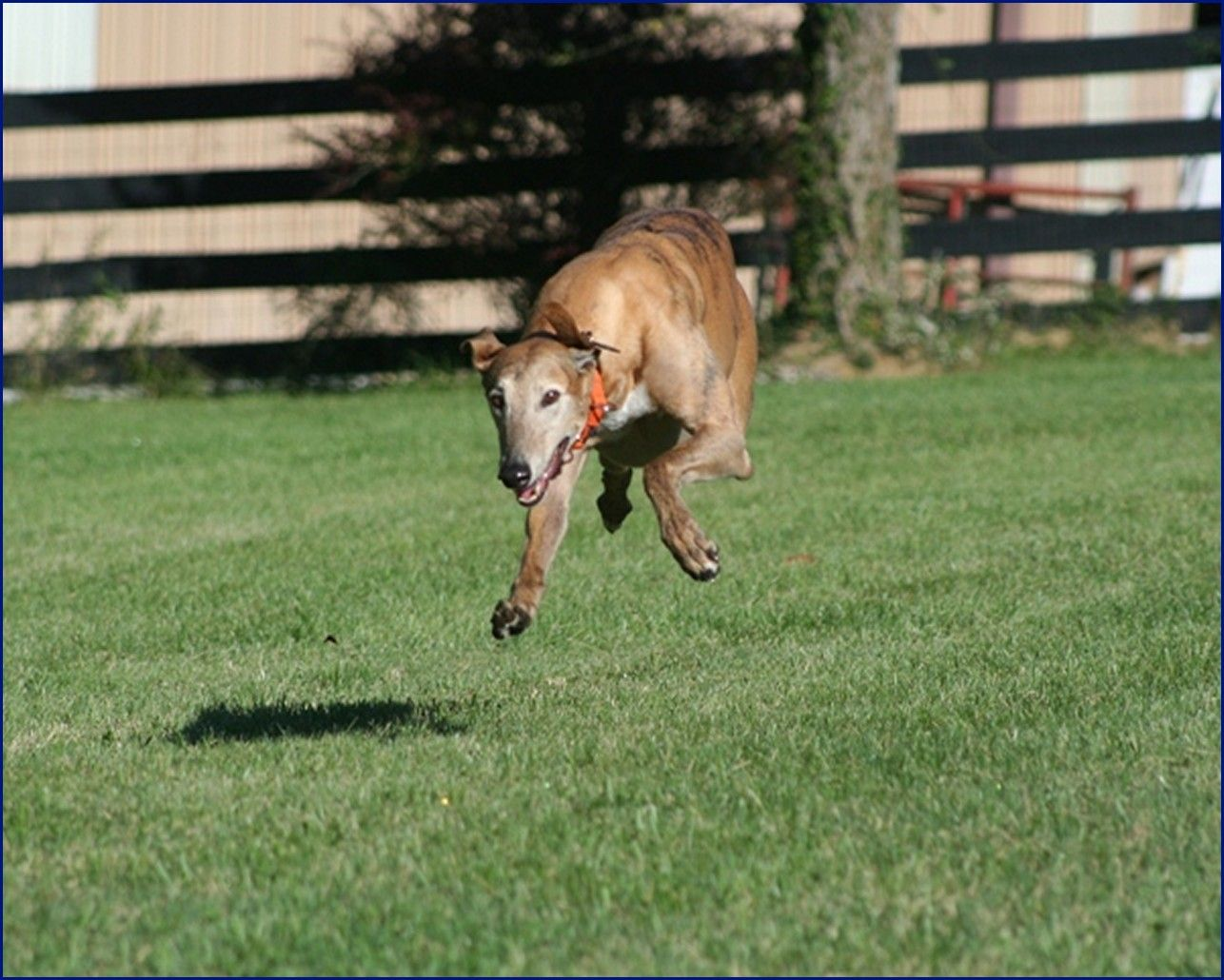 Greyhound-Adoption-Jack4.jpg