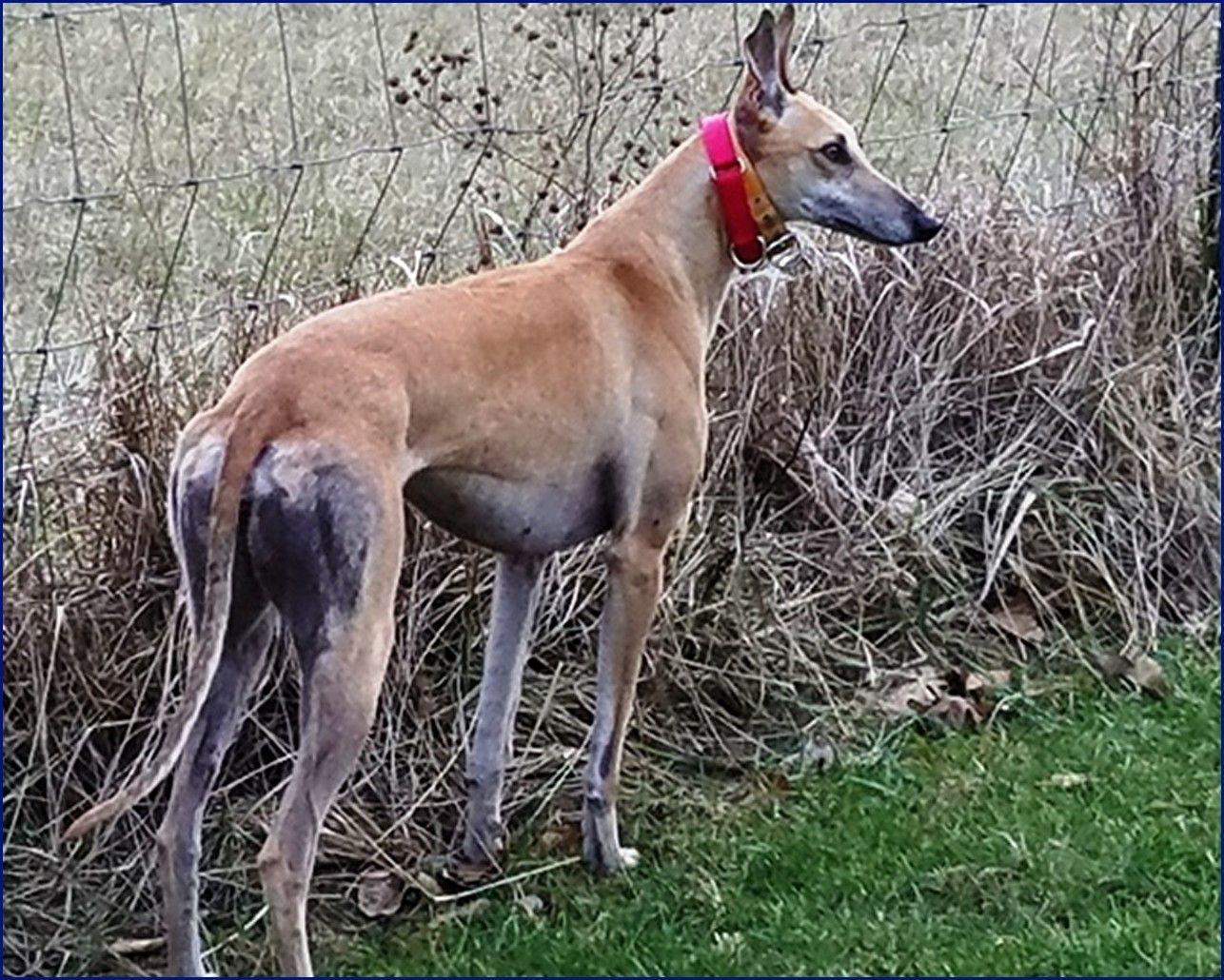 Greyhound-Adoption-Ruby1.jpg