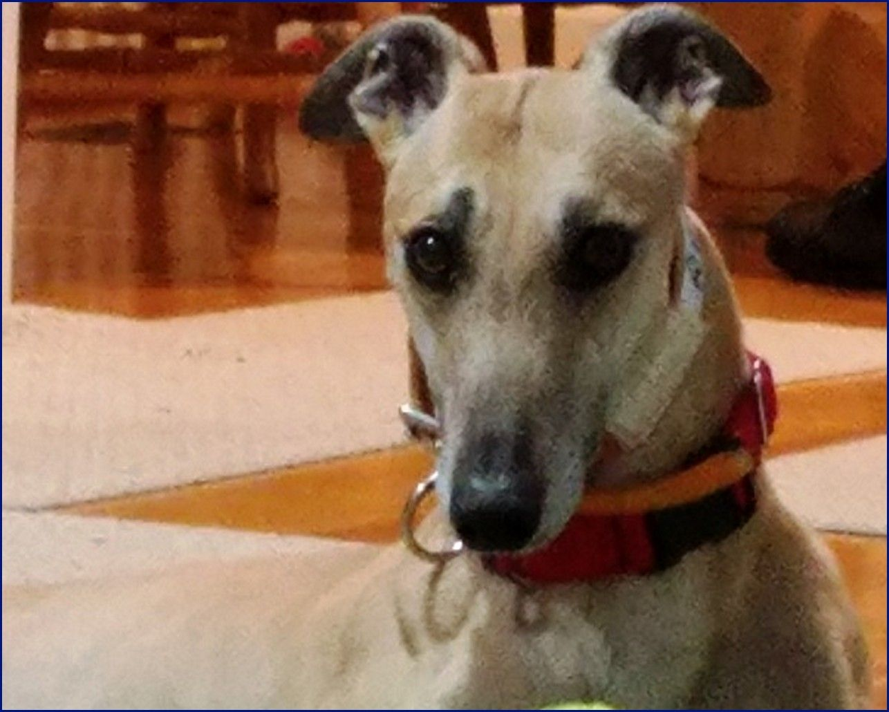 Greyhound-Adoption-Ruby2.jpg