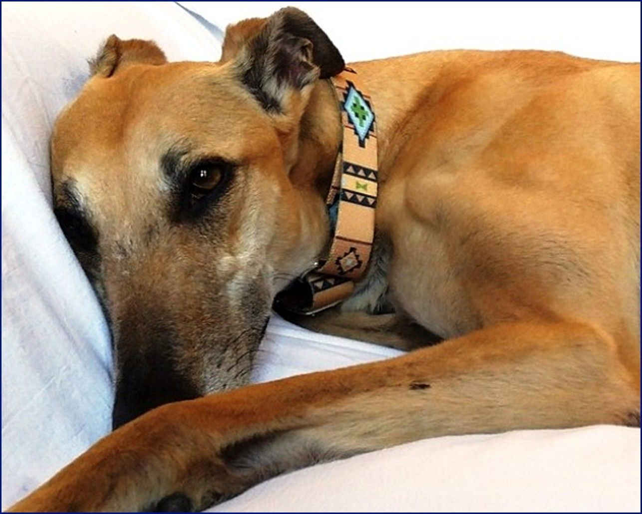 Greyhound-Adoption-RubyRooPoses.jpg